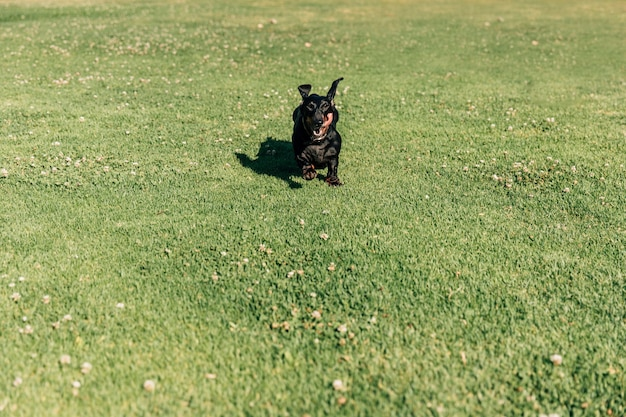 Dog running on green grass