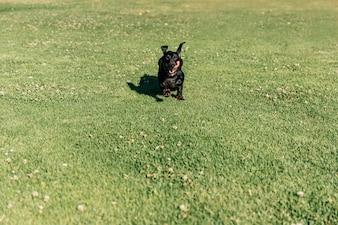 Dog running on green grass