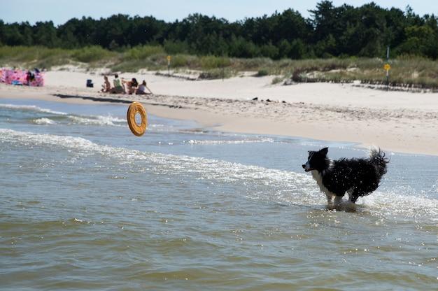 Собака работает, покупая игрушку в море