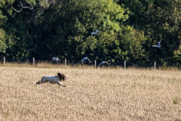 Собака бежит по недавно убранному пшеничному полю недалеко от ист-гринстеда