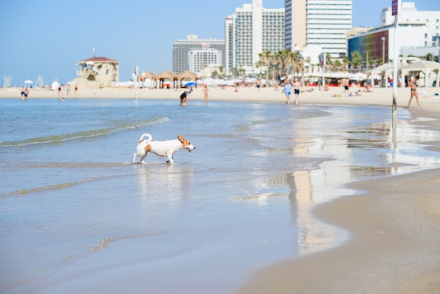 Dog runs from the water to the sandy beach. happy pet at the sea.