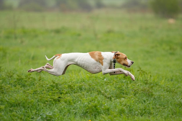 The dog runs on green grass, focus is on dog, shooting with panning.