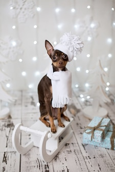 Dog russian toy terrier. holiday christmas.