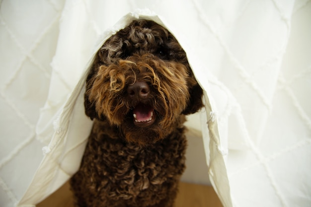 Dog's anxiety about fireworks, thunderstorm or loud noises hide under a curtain.