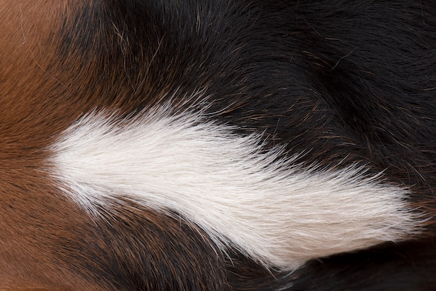 The dog's hairs are brown, white and black