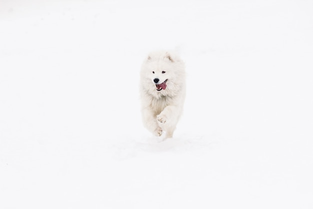 Dog samoyed young active in the snow