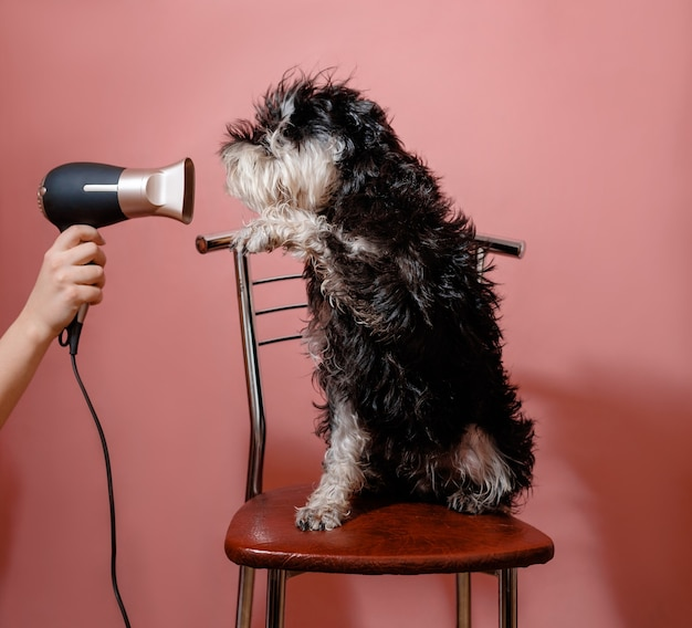 Dog schnauzer on pink background and hair dryer in female hand