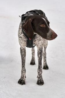 白い雪の上で悲しい感情を持つ犬のセッターポインターkurzhaar。