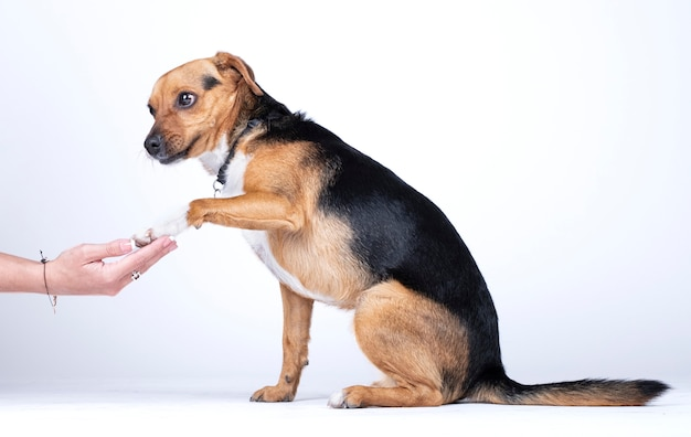 Dog shaking hands with a person