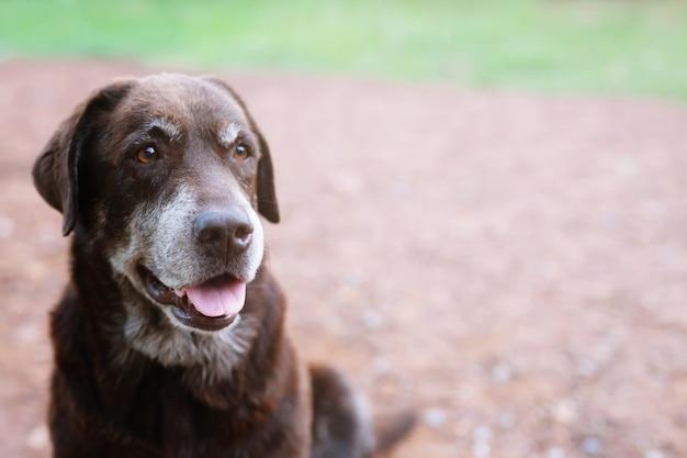 Собака застенчивая виноватая собака-гончая из приюта ждет одинокими глазами и пристальным взглядом на природе. утренний солнечный свет.