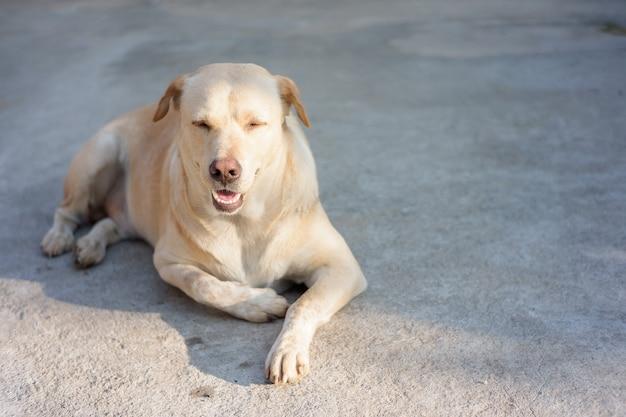 바닥에 앉아 잠을 자는 개, 태국 애완동물