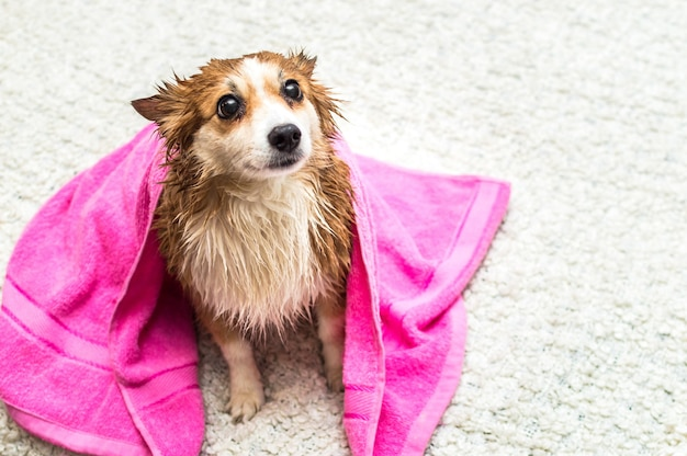 Dog sitting in a towel after washing