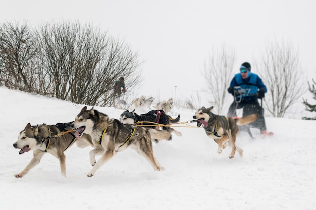 Dog sledding race. man musher and husky sled dog team