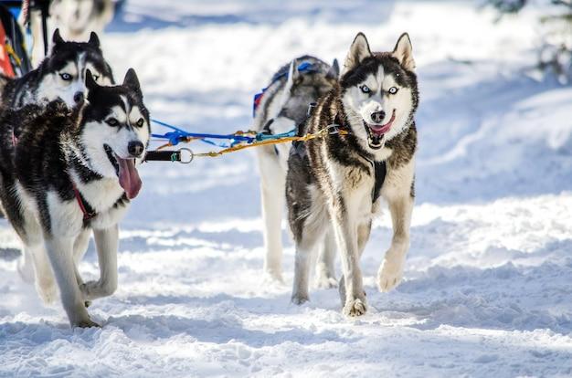 Dog sledding. siberian husky sled dog team in harness