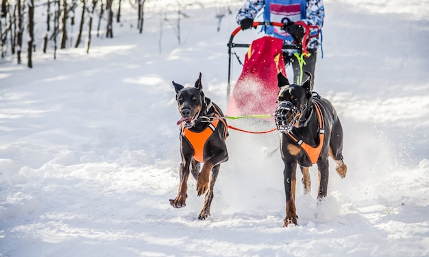 Dog sledding. sled dog team with two dobermans in harness. white snowy background
