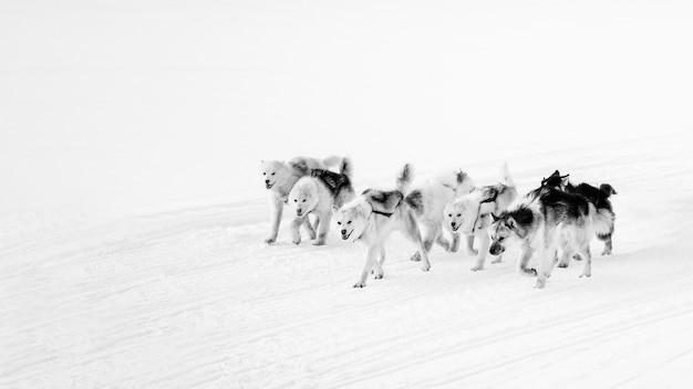 Dog sledding through the snow in greenland