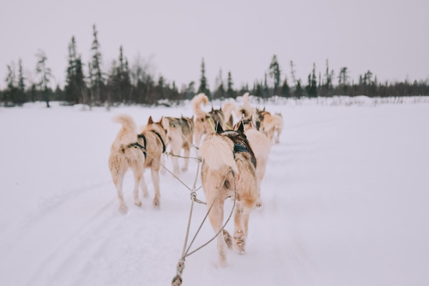 Dog sledding with huskies in russia