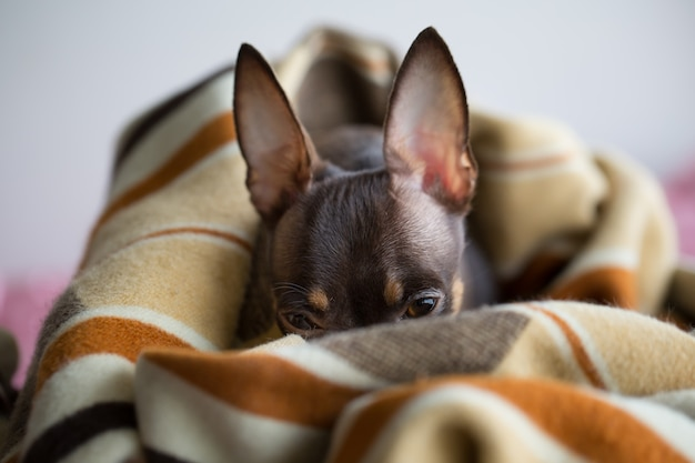 Dog sleeps under the blanket