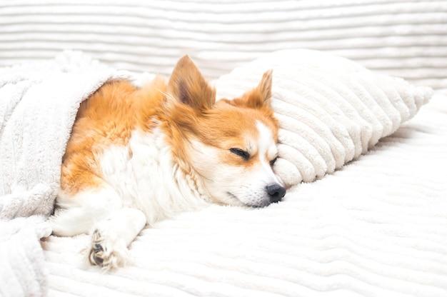 개는 담요 아래 베개에 침대에서 자