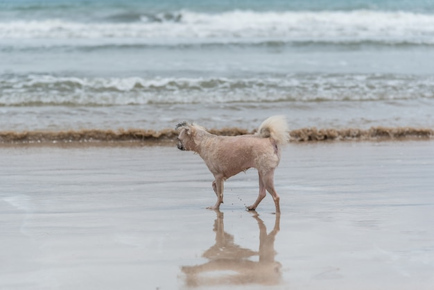 Dog so cute beige color mixed breed with shih-tzu, pomeranian and poodle running on beach