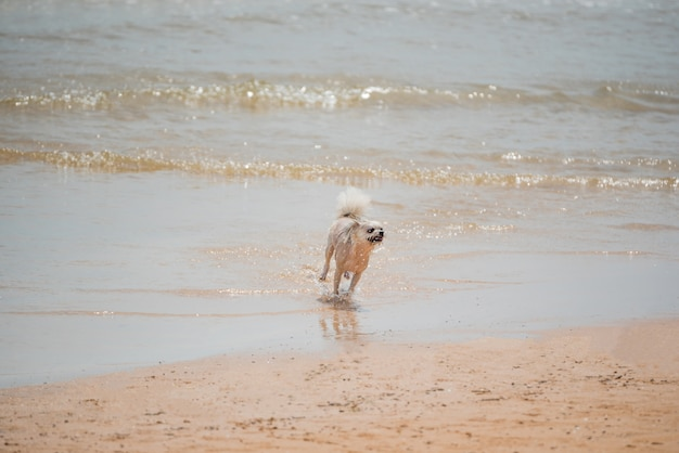 Dog so cute beige color mixed breed with shih-tzu; pomeranian and poodle running on beach