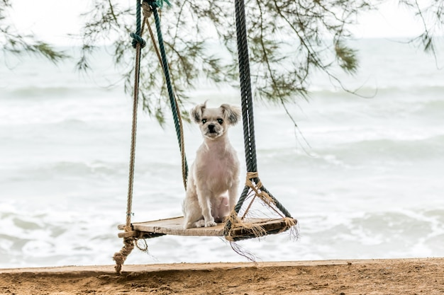 Dog so cute beige color mixed breed with shih-tzu, pomeranian and poodle  travel at beach