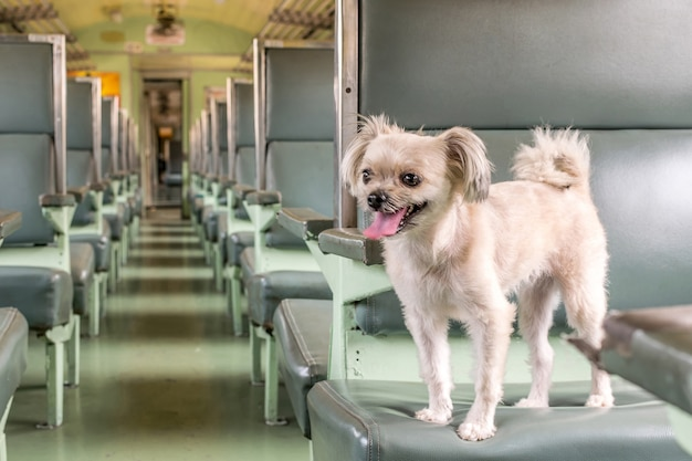 Dog so cute beige color mixed breed with shih-tzu, pomeranian and poodle travel by train