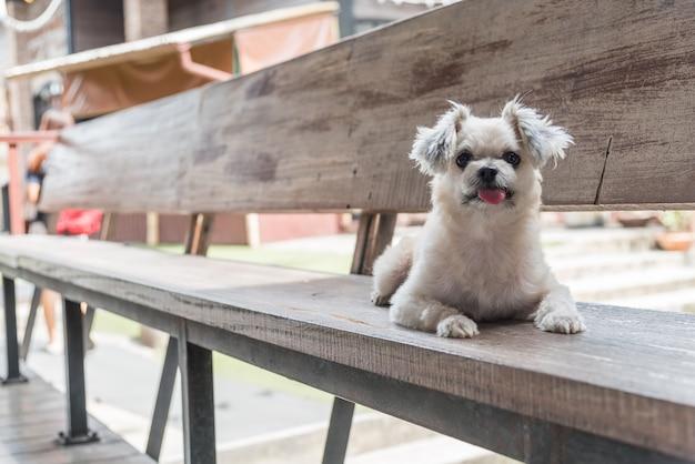 Собака так мило смешанной породы с ши-тцу, поморское и пудель сидит на стуле