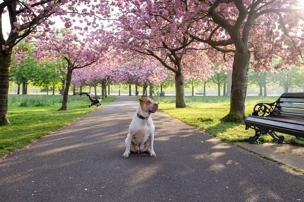 Dog staffordshire terrier sitting on a path with cherry blossom flower tree.