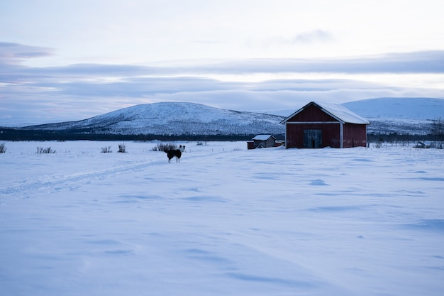 Dog standing n a snowy field with a wooden house in the distance in sweeden