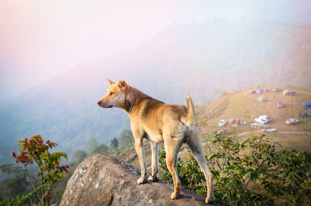 Dog standing on rock / landscape of dog stand on hill view of camping on the mountain background