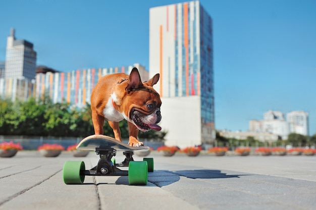 Dog standing on the skateboard looking to the side