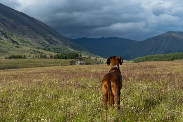 The dog stands in a mountain glade and looks into the distance. a dog against the backdrop of a mountain landscape.