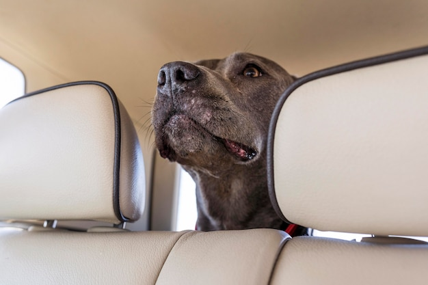 Dog staying in a car while traveling with its owners