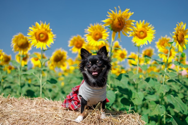 A dog in the sunflowers field on a sky blue background, beautiful lanscepe in asia.