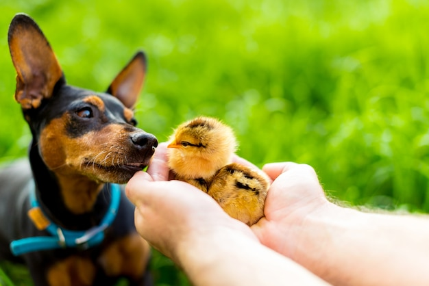 Dog and two newborn chicken in the hands on green background