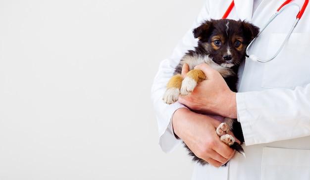 犬の獣医による健康診断。医者の手の獣医クリニックの子犬。健康をチェックするために黒い子犬、哺乳類の動物のペットを保持している獣医。聴診器を持った獣医。白い背景にスペースをコピーします。