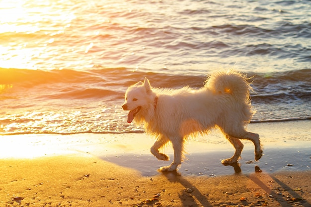 Dog walking on the beach at sunset