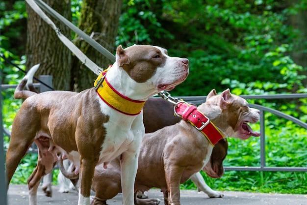 Собака гуляет в парке в ошейниках на поводках