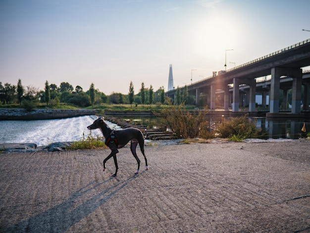 Dog walking near river, morning background
