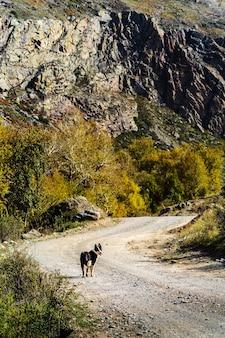 山岳地帯の未舗装の道路を歩く犬。秋。チュリシュマンバレー、アルタイ、ロシア