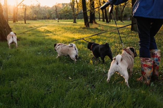 개 산책 전문 개 워커 가을 일몰 공원에서 개 산책 팩 배열