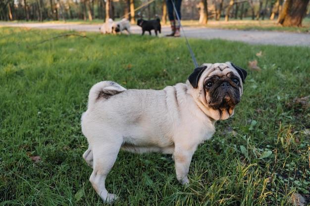Выгул собак со многими мопсами, профессиональный выгул собак, выгул собак в осеннем парке заката, прогулка по
