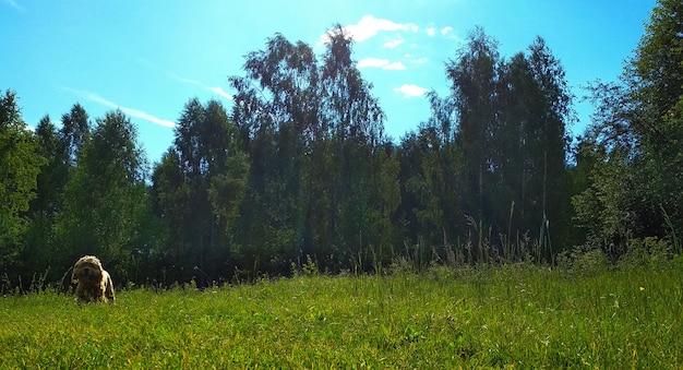 犬は森林伐採の中を歩きます