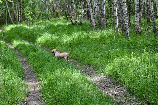 犬は夏の森を歩く