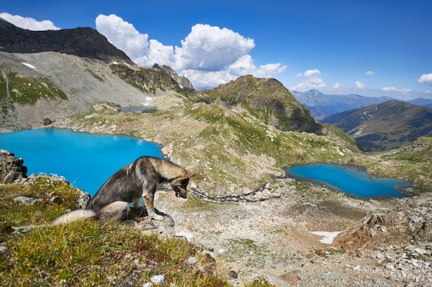 Dog walks in the mountains against the blue of lakes, the caucasus arkhyz