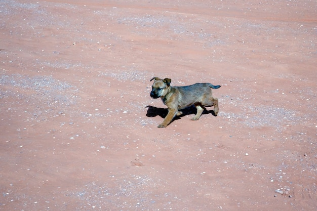 Dog wandering in monument valley