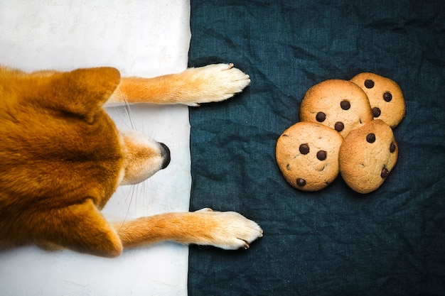 Dog watching cookies with chocolate