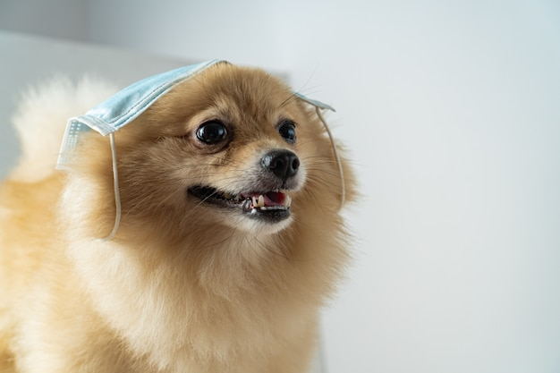 Dog wearing air pollution mask for protect dust pm2.