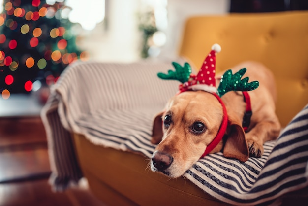 Dog wearing antlers sitting on the yellow sofa